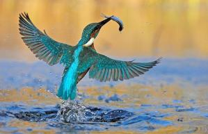 kingfisher-catching-fish